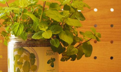 ハーブ ミント 育てるグリーンペット
